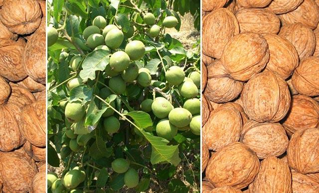 წმინდა ხილი, რომელიც აძლიერებს ტვინის უჯრედებს, კუნთებს, აუმჯობესებს მხედველობას და ასუფთავებს სისხლს.