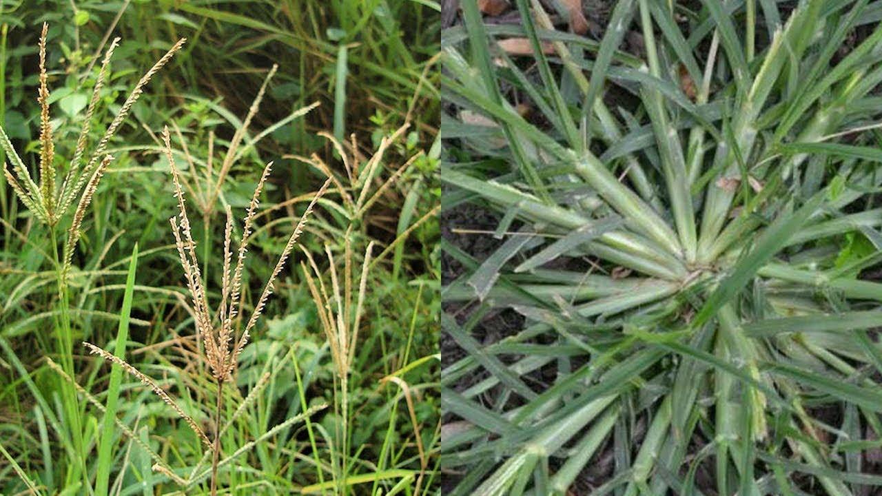 ყველა ეძებს ამ მცენარეს, რომელიც სიმსივნის და სხვა დაავადებებთან გასამკლავებლად გამოიყენება.