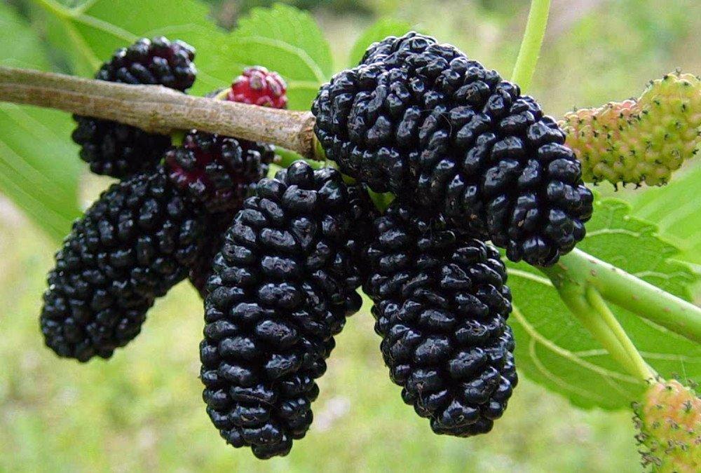 ახალგაზრდობის ელექსირი! გაიგეთ უფრო მეტი ამ სასარგებლო ხილის შესახებ, რონელსაც ახალგაზრდობის წყაროს უწოდებენ.