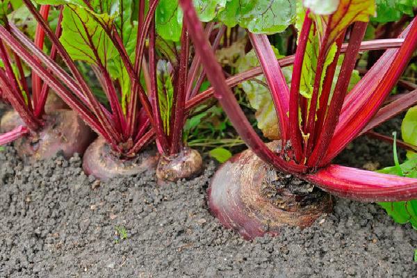 60 წლის ქალბატონი ვარ, ამ მცენარემ კი დამიბრუნა მხედველობა, მომაშორა ცხიმი ჩემი ღვიძლის გარშემო და სრულიად გამიწმინდა მსხვილი ნაწლავი